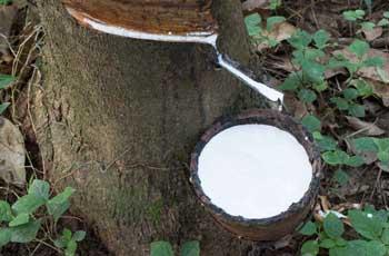 production process of natural latex topper hevea milk