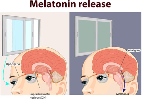 mechanism of circadian rhythm and melatonin release illustration