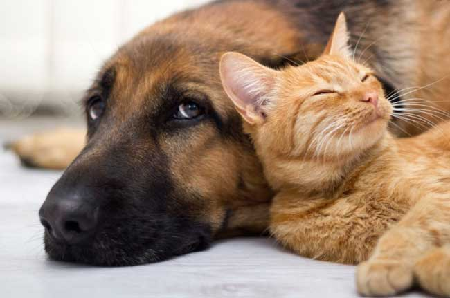 calm cat and dog