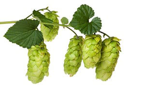 hops tree branch