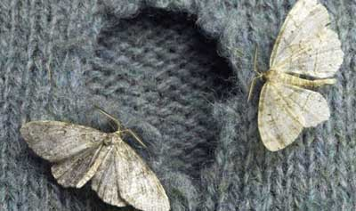 moths on wool